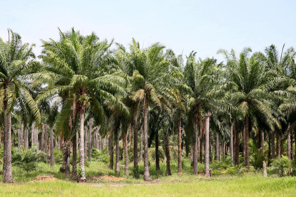 Elaeis guineensis Plantation