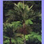 Palms of New Caledonia/Les Palmiers de Nouvelle Caledonia - Catalog No. P10