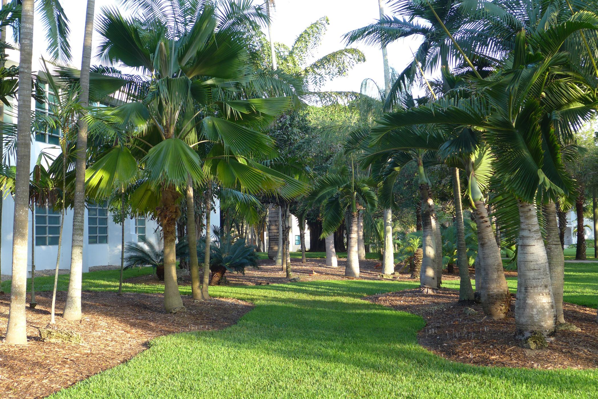 UM Palmetum Pritchardia & Hyophorbe