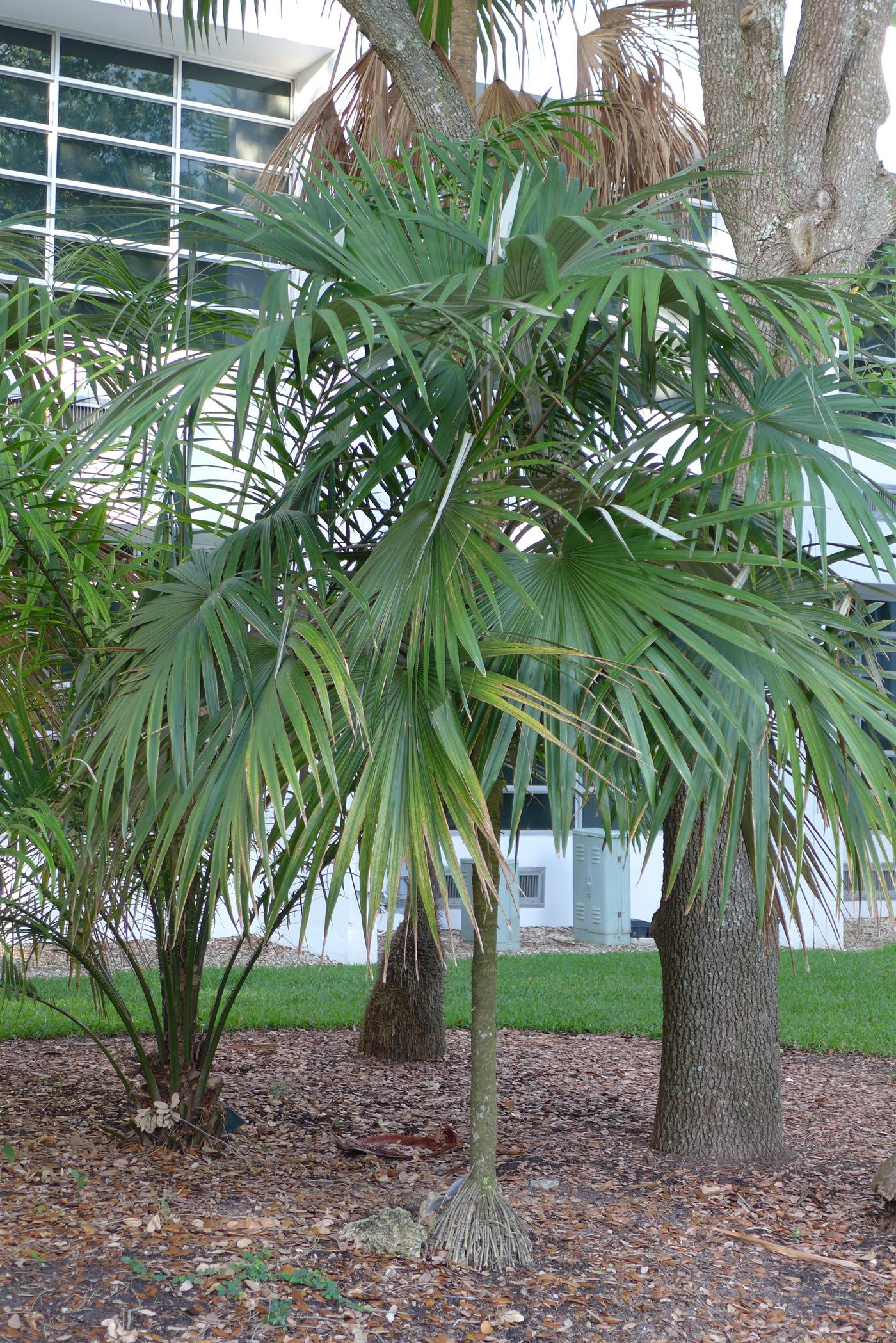 UM Palmetum Cryosophila stauracantha