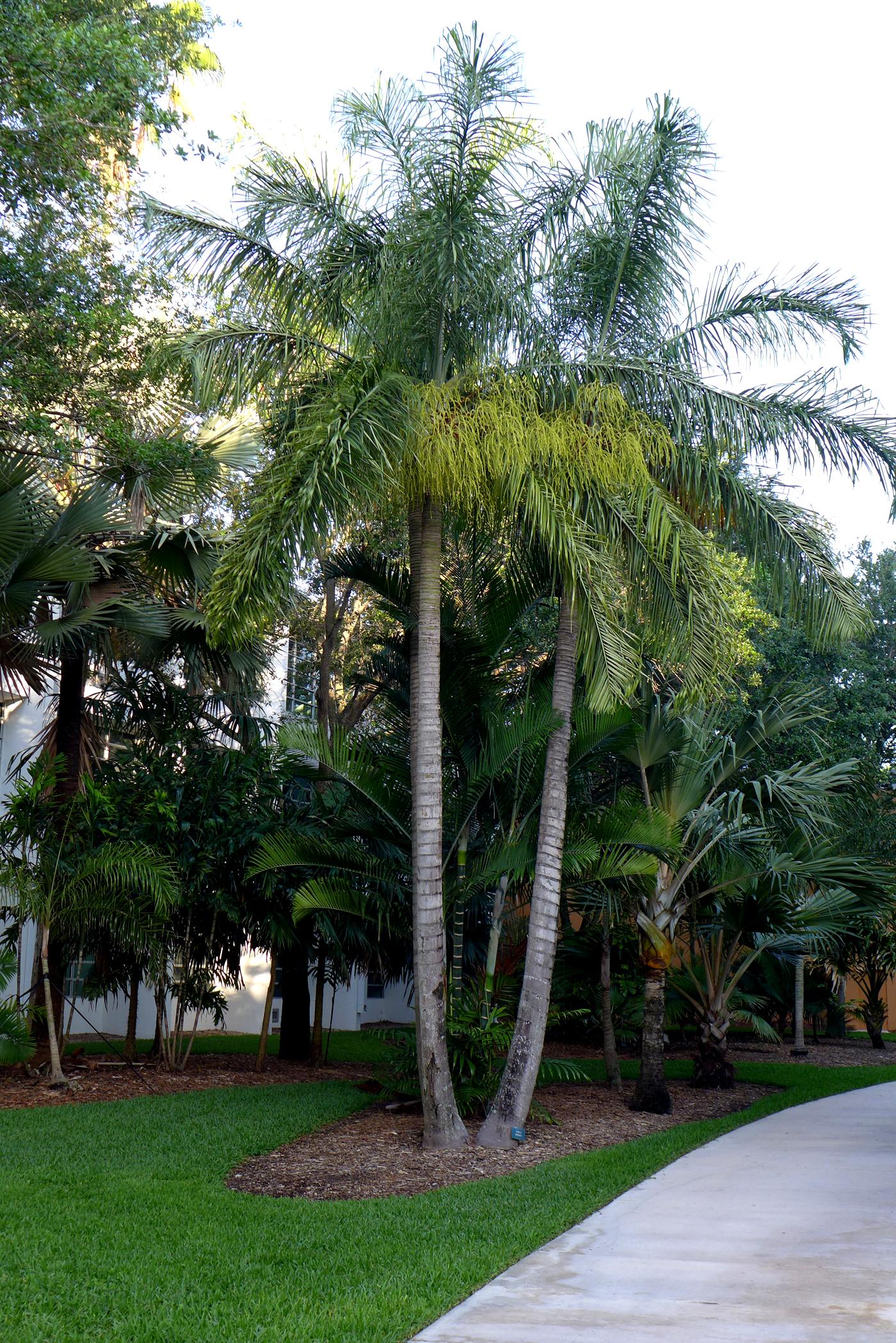 UM Palmetum Dypsis madagascariensis
