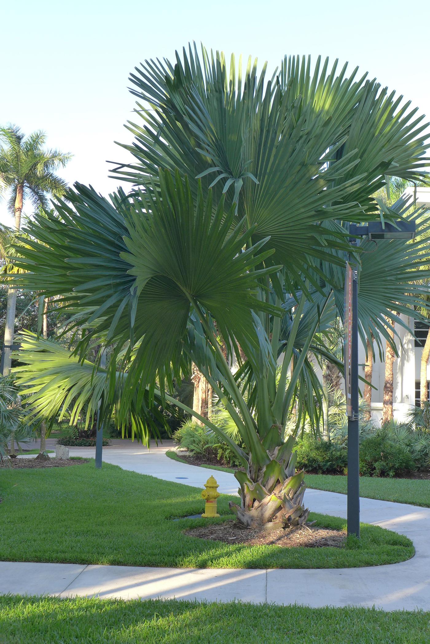 UM Palmetum Corypha umbraculifera