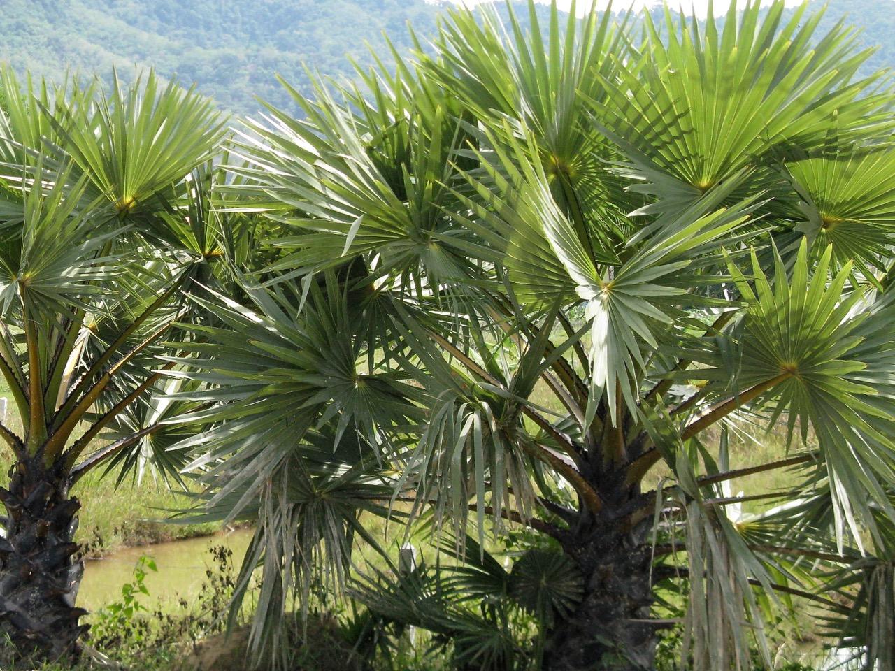 Juvenile Borassus flabellifer