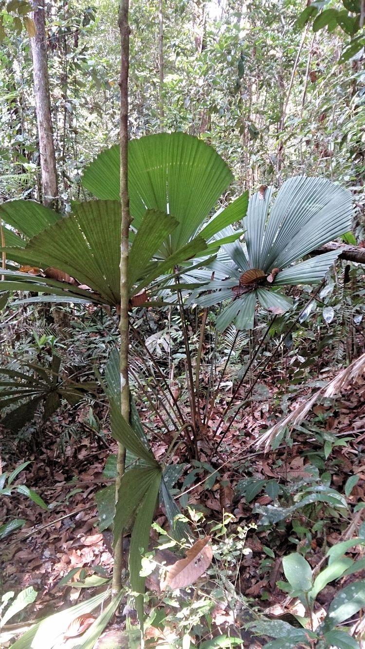 Licuala bintuluensis at Similajau DT