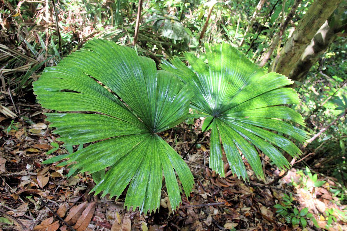 Licuala maculata at Batang