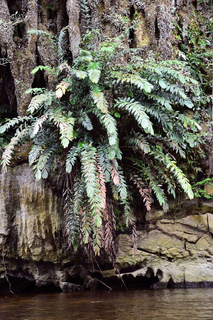 Salacca rupicola growing on rock face Sungei Melanau MG