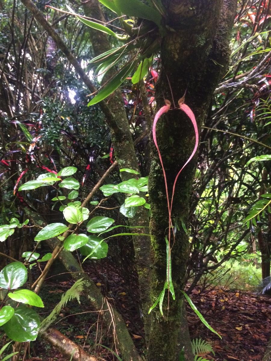 Bulbophyllum Orchid