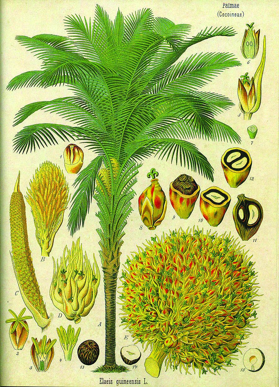 oil-palm-diagram