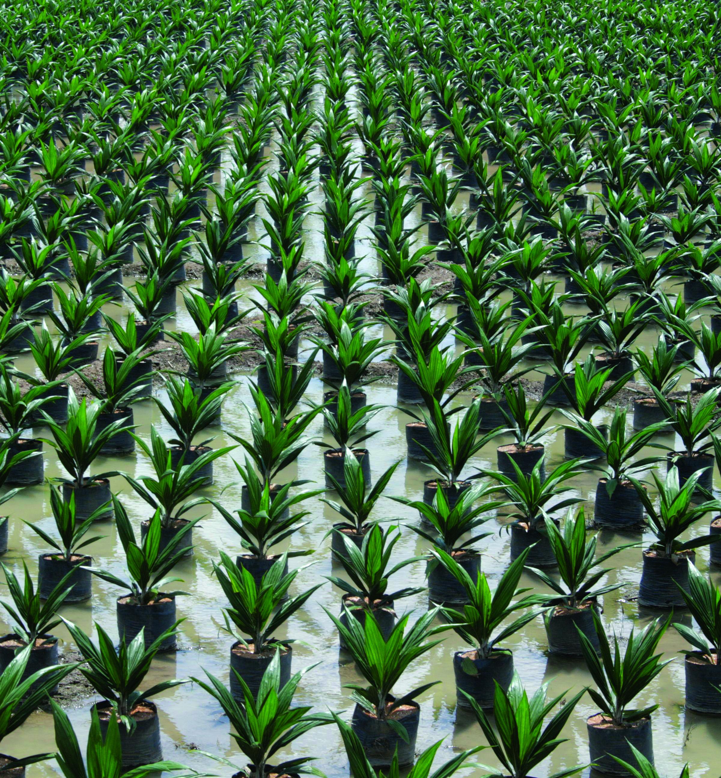 oil-palm-farm
