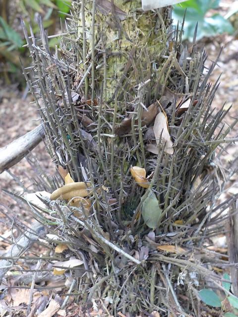 Cryosophila stauracantha