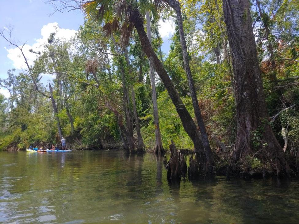 Sabal palmetto along Apalachicola River basin